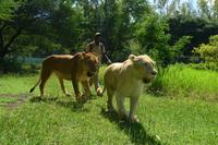 ライオンと散歩