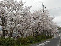 銭代坊の春2017 桜並木