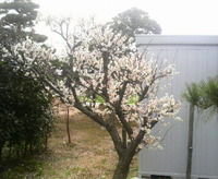 梅は咲いたか〜桜はまだかいな…
