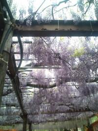 黒木の大藤