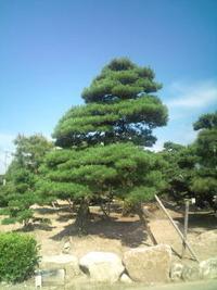 松の緑摘み