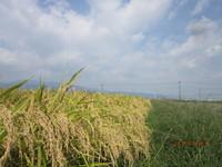 稲刈2 農林22号