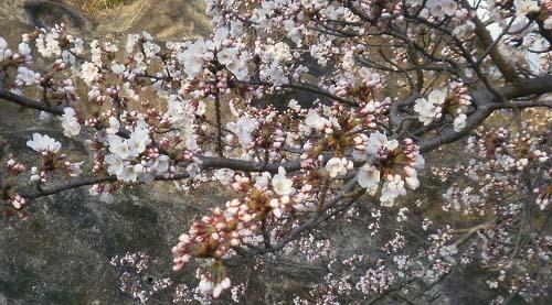 桜前線は繊細なり
