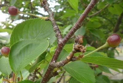ソメイヨシノの桜に実