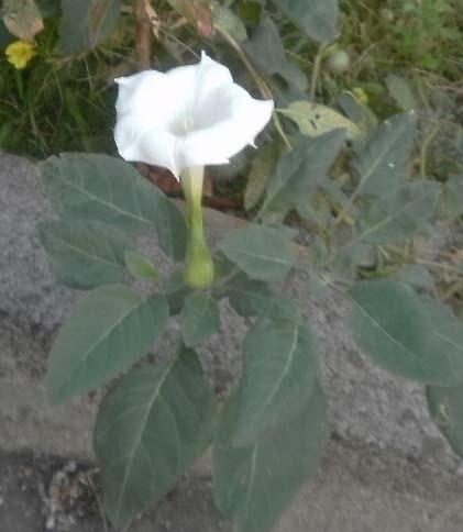 白い大きな花