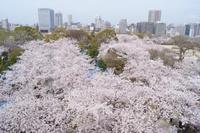桜満開、福岡城跡が美しい・・・