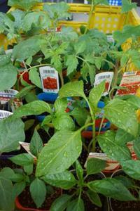 夏野菜苗の調達開始