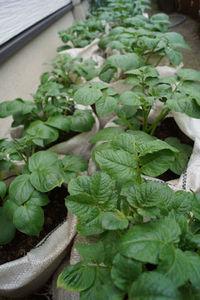 土増し中、土のうジャガイモ
