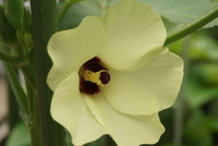 今年も綺麗なオクラの花
