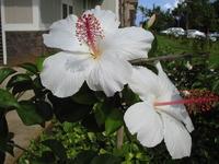 ハワイの花々
