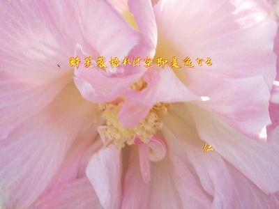 フォト575『 酔芙蓉悟れば空即是色なる 』zbr2006tm14