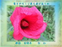 『 驚きやモミジ葵も飛び出しぬ 』めぐり逢い良寛さんzr1102sq11