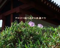『 昼顔やどちらの露の情けやら 』良寛俳句34-01