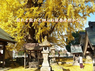フォト575『 散れど散れど細らぬ銀杏老樹かな 』201-01zbk0301tk19