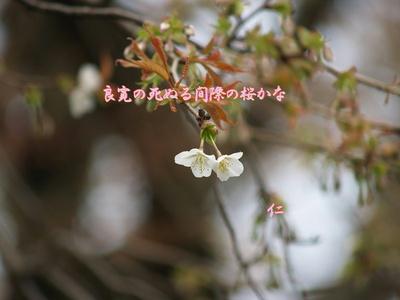 フォト575『 良寛の死ぬる間際の桜かな 』zw0102sw07