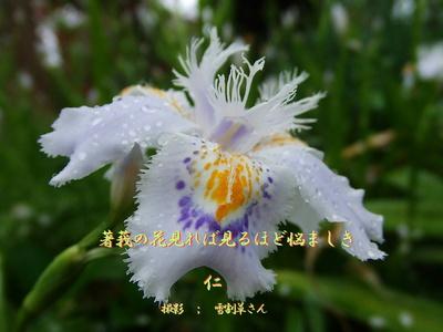 フォト575『 著莪の花見れば見るほど悩ましき 』zw2601sw26