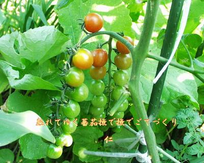 フォト575『 熟れてゆく蕃茄撫で撫でごてづくり 』zs0401ss03