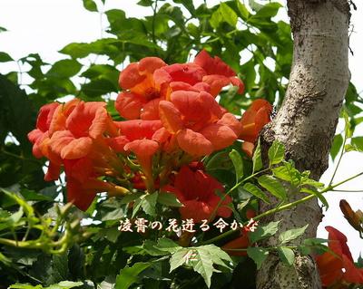『 凌霄の花迸る命かな 』