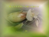 『 花ミョウガぬいて娘の土産にす 』めぐり逢い良寛さんzq2901sp01