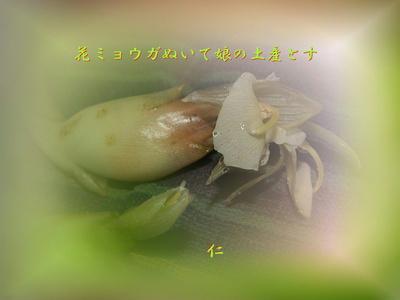 フォト575zq2901『 花ミョウガぬいて娘の土産にす 』sp01