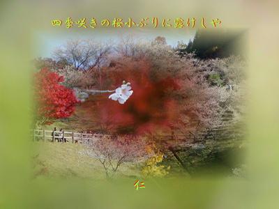 フォト575zp1701『 四季咲きの桜小ぶりに露けしや 』sp17