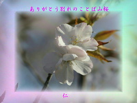 フォト575『 ありがとう別れのことば山桜 』zrw0505