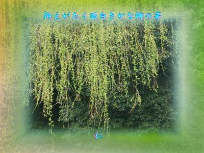 フォト575『 抑えがたく面白きかな柳の芽 』zrx1002