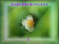 フォト575『 茶の蕊の実隠る前に刈られけり 』zsk0207