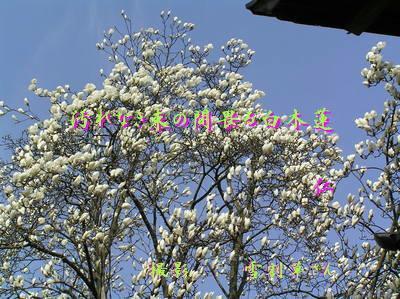 フォト575zbw0201『 汚れなき束の間畏る白木蓮 』tq1401