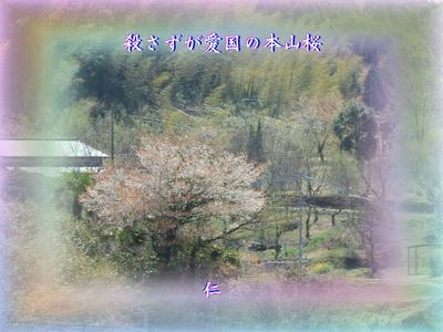 フォト平和の砦575『 殺さずが愛国の本山桜 』zrw1411