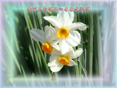 『 希望あれ孫子の未来水仙花 』平和の砦575交心zsk1307