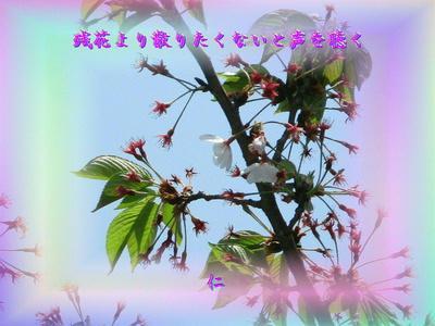 『 残花より散りたくないと声を聴く 』筑紫風575交心zrw0911