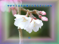 『 やがてくるわが逝くときもさくらかな 』筑紫風575交心zrx2505