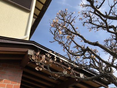 白梅も咲き始めました。