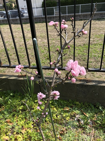桃の花です。