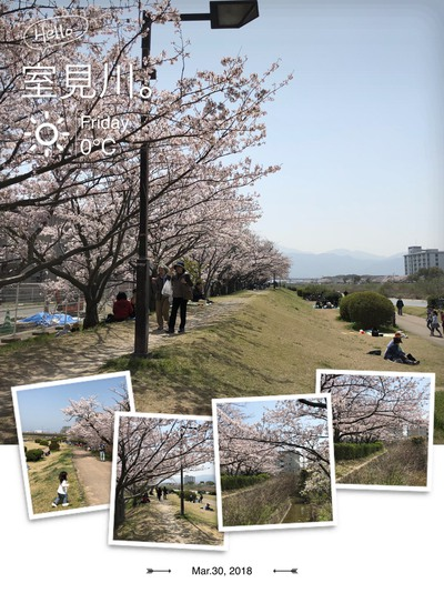 室見川の桜です。