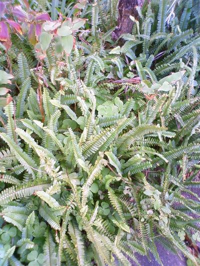 シダ植物。