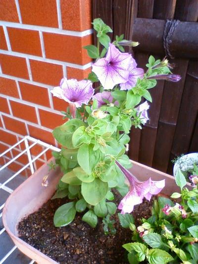 玄関の花。