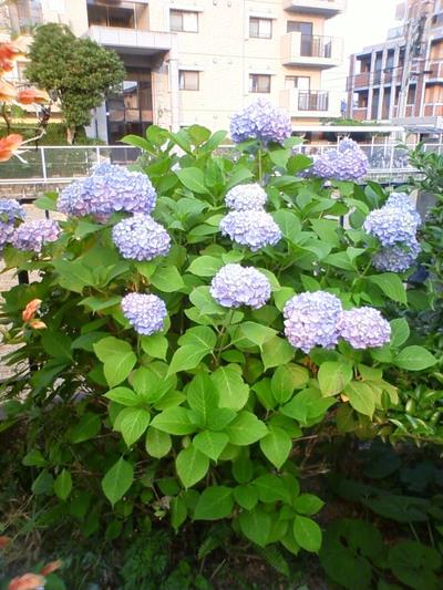 紫陽花です。
