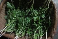 大根の間引き菜