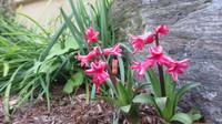 今咲いてる我が家の花