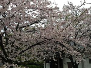 住吉神社の桜