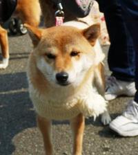 柴わんこ@OW護国神社2011冬