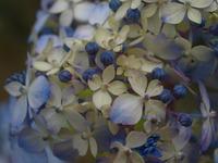 ちょっと、前の紫陽花の話です。