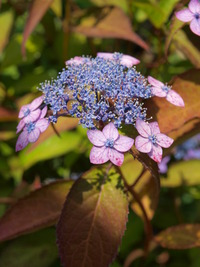 筥崎の紫陽花 花庭園