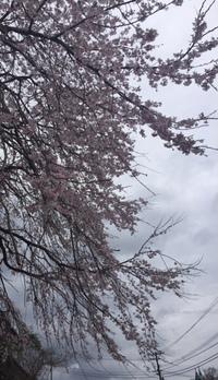 高千穂の  枝垂れ桜