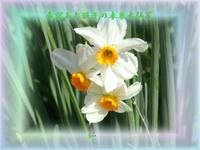 フォト平和の砦575『 希望あれ孫子の未来水仙花 』zsk1406