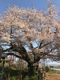 浅井の一本桜2017【その七】