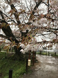 浅井の一本桜2017【その四】