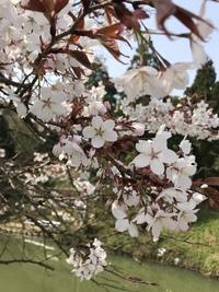 浅井の一本桜2018【その参】